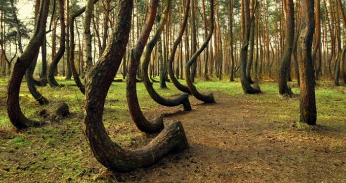 Crooked Forest of Poland Pic 2